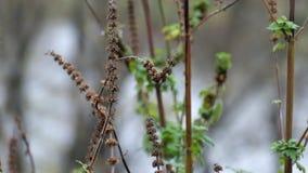 Torra korgar av motherworten fladdrade i vinden lager videofilmer