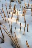 Torra korta stjälk som sticker fram från snön som en rytm och en abstraktion royaltyfri bild