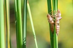 Torra larvhudar av sländor royaltyfri foto