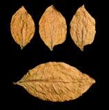 Torra leafs fotografering för bildbyråer