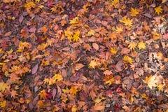 torra leaves för bakgrund Royaltyfri Fotografi