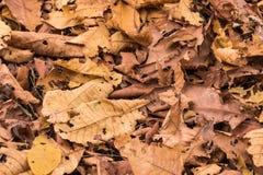 torra leaves för bakgrund Royaltyfri Bild
