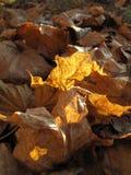 torra leaves för höst Royaltyfria Bilder