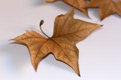 torra leaves för höst arkivbilder