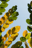 torra leaves för höst Royaltyfri Foto