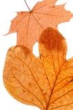 torra leaves för höst Royaltyfri Fotografi