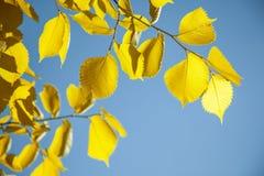 torra leaves för höst Arkivfoton