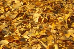 Torra och döda Autumn Leaves Lying på jordningen Arkivfoton