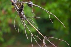 Torra och vid liv filialer på sörjaträdet på en bakgrund av en suddig solig skog, abstrakta naturliga bakgrunder begränsade djup  royaltyfri fotografi