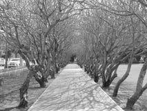 Torra Prangipani träd bland bana Royaltyfri Bild