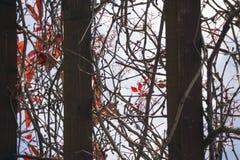 Torra röda sidor av lösa druvor Royaltyfria Bilder