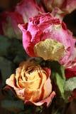 Torra rosor persika och rosa färgfärg Royaltyfri Fotografi