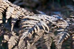 Torra sidor av ormbunken täckas med rimfrost Royaltyfri Foto