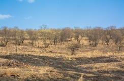Torra träd i skog Royaltyfria Bilder