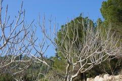 Torra träd på en bakgrund av den gröna skogen Royaltyfri Foto