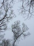 Torra trädfilialer mot filialer för träd för grå vinterhimmel torra på himmelbakgrund fotografi royaltyfri fotografi