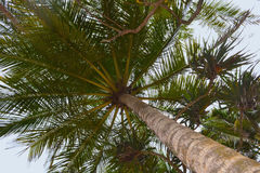 Torre alta verde della palma contro il cielo blu Vista dal basso di alta palma Fotografia Stock Libera da Diritti