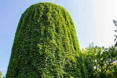 Torre de água coberta com as uvas selvagens na nova de Askania Fotografia de Stock