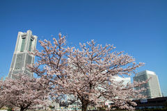 Torre de la señal de Yokohama y las flores de cerezo Foto de archivo libre de regalías