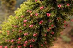 Torre de las flores de las joyas, wildpretii del Echium fotos de archivo