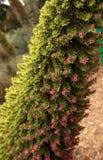 Torre de las flores de las joyas, wildpretii del Echium fotos de archivo libres de regalías