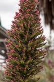 Torre de las flores de las joyas, wildpretii del Echium imagen de archivo