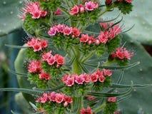 Torre de las joyas o del Echium Wildpretii en la floración imágenes de archivo libres de regalías