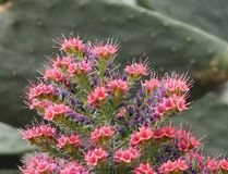 Torre de las joyas o del Echium Wildpretii en la floración imagen de archivo