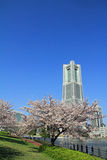Torre del punto di riferimento di Yokohama ed i fiori di ciliegia Fotografia Stock