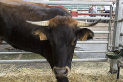 Torrelavega (Cantabria), Spain - September 10, 2014: National Cattle Fair Torrelavega Royalty Free Stock Images