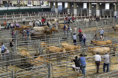 Torrelavega (Cantabria), Spain - September 10, 2014: National Cattle Fair Torrelavega Stock Photos