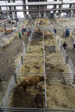Torrelavega (Cantabria), Spain - September 10, 2014: National Cattle Fair Torrelavega Stock Photography
