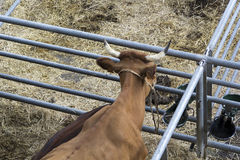 Torrelavega (Cantabria), Spain - September 10, 2014: National Cattle Fair Torrelavega Royalty Free Stock Photo