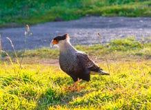 Torres del Paine, Чили, Патагония: Птица Caracara или Cara стоковое изображение rf
