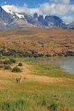 Torres del Paine e Guanaco Fotos de Stock Royalty Free