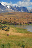 Torres del Paine and Guanaco Royalty Free Stock Photos