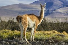 Guanaco in the countryside at Torres del Paine National Park, Patagonia, Chile stock photo