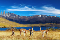 Torres del Paine, Patagonia, Chile. Guanaco in Torres del Paine National Park, Laguna Azul, Patagonia, Chile Royalty Free Stock Photography