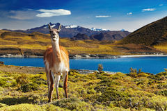 Torres del Paine, Patagonia, Chile. Guanaco in Torres del Paine National Park, Patagonia, Chile Stock Photography