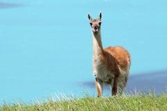 Torres del Paine wildlife 2 Royalty Free Stock Image