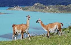 Torres del Paine wildlife 1 Royalty Free Stock Photo