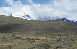 Torres del Paine wildlife 4 Royalty Free Stock Photo
