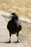Torresian Crow (Corvus orru) Royalty Free Stock Photos