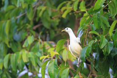 Torresian Imperial Pigeon Stock Photo
