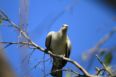 Torresian Imperial Pigeon Royalty Free Stock Photos