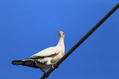 Torresian Imperial Pigeon Stock Photos