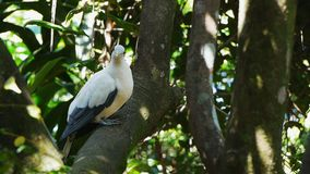 torresian imperial pigeon perched in a tree stock footage