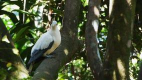 torresian keizerdieduif in een boom wordt neergestreken stock footage