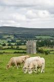 Torretta in Irlanda con le mucche Fotografia Stock Libera da Diritti