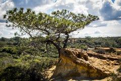Torrey Pine树圣地亚哥 库存图片